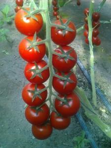 помидоры хилма