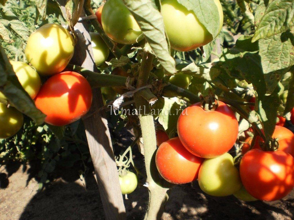 помидоры Алые паруса фото