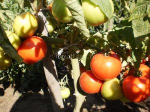 помидоры Алые паруса