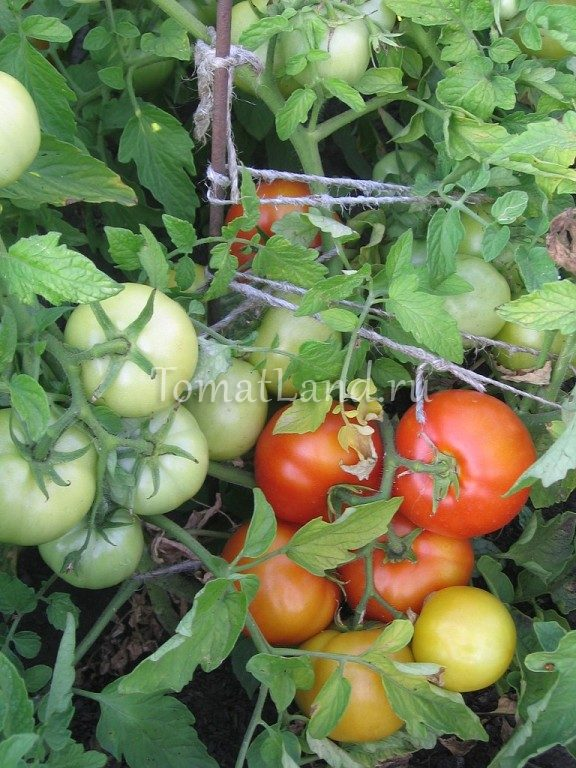 помидоры Анюта отзывы фото