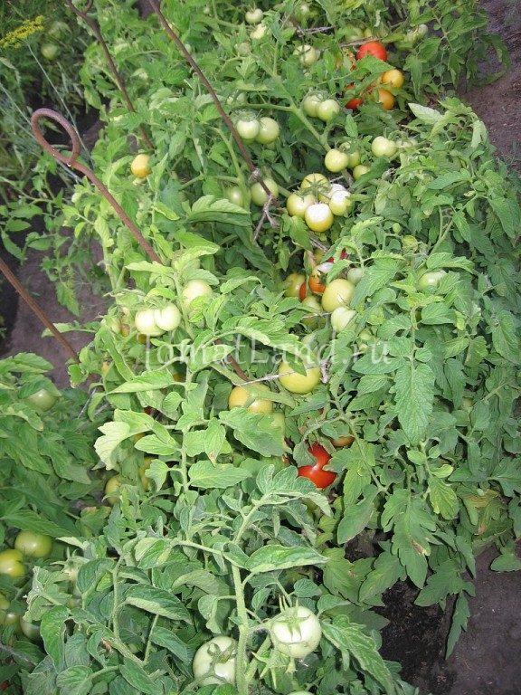 томаты Анюта f1 фото