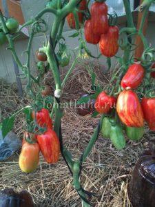 помидоры безумие Касади