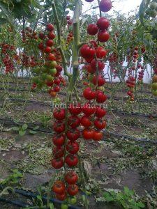 помидоры сорт Хилма