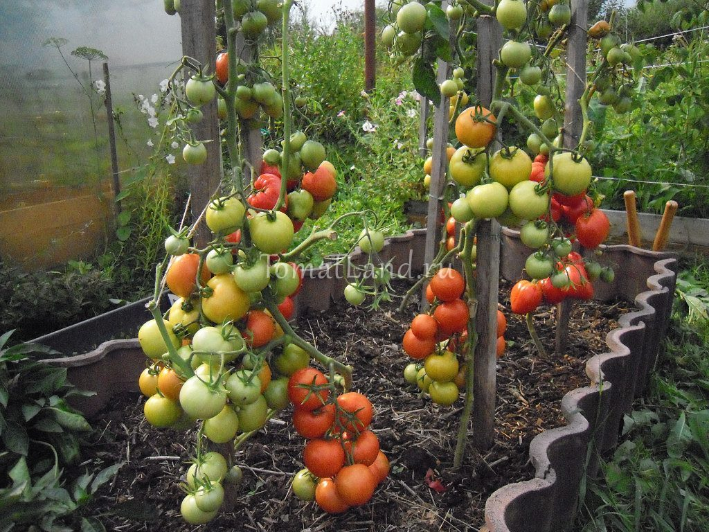 помидоры Ирина отзывы фото урожайность