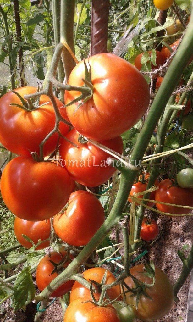 помидоры Киржач отзывы