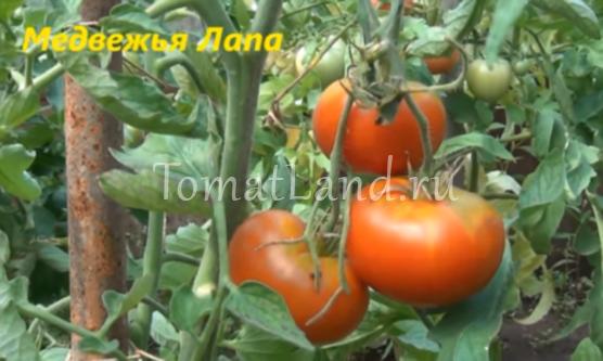 томаты медвежья лапа видео