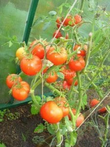 помидоры сорт биатлон