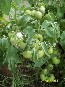 помидоры Санрайз f1 ajnj