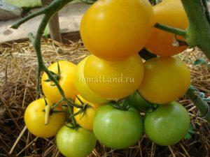 помидоры Лимоновый мальчик