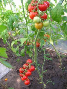 помидоры спенсер f1 фото куста