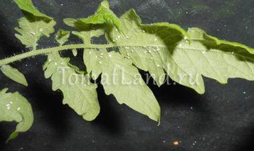 белокрылка на помидорах фото