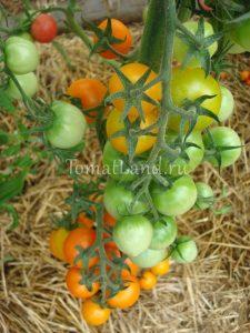 помидоры форте оранж отзывы фото на кусте