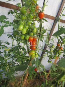 помидоры черри ира