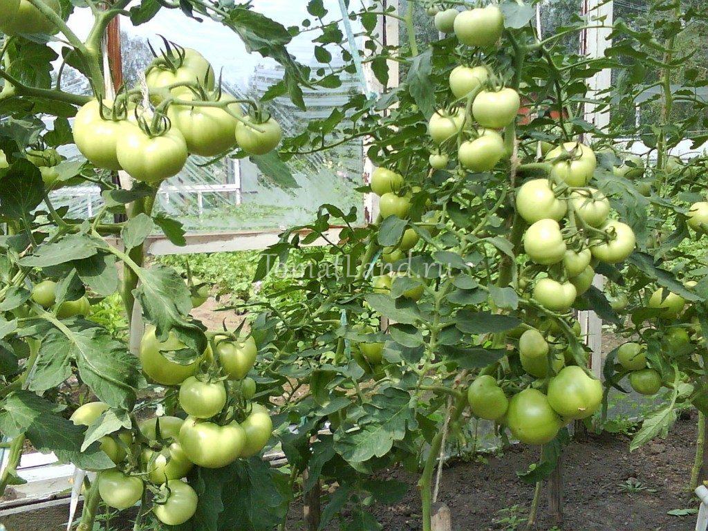 помидоры Катя отзывы фото