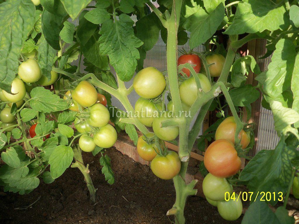 помидоры Ляна фото на кусте отзывы