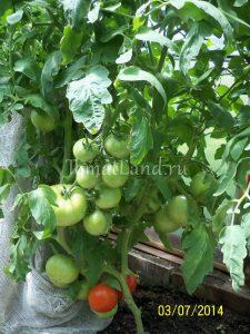 помидоры Линда фото