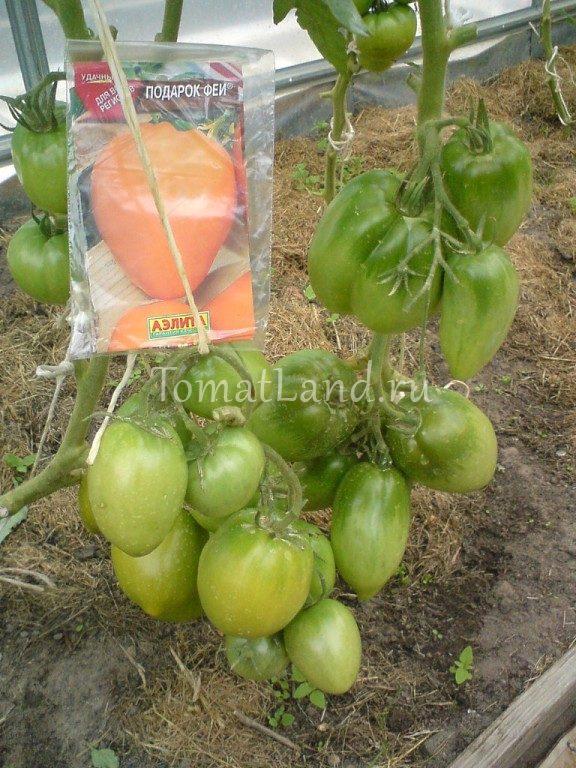 помидоры подарок феи отзывы фото