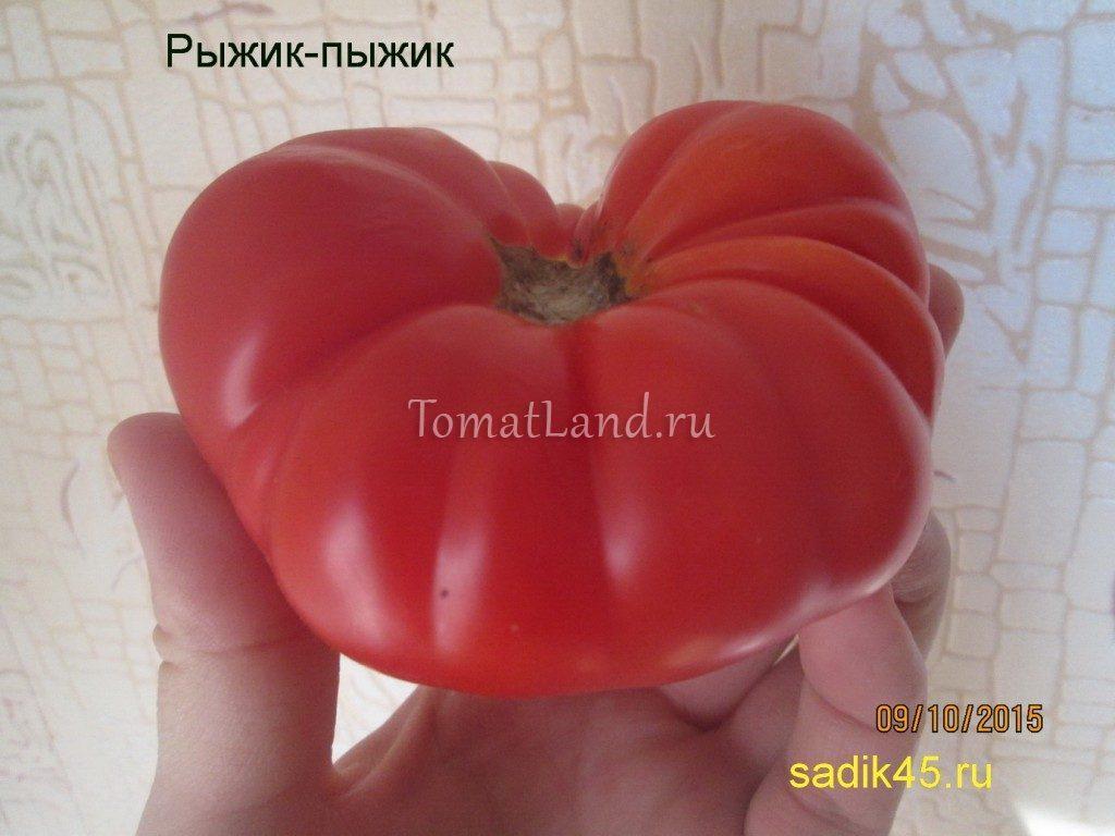 помидоры Рыжик-Пыжик фото спелых плодов