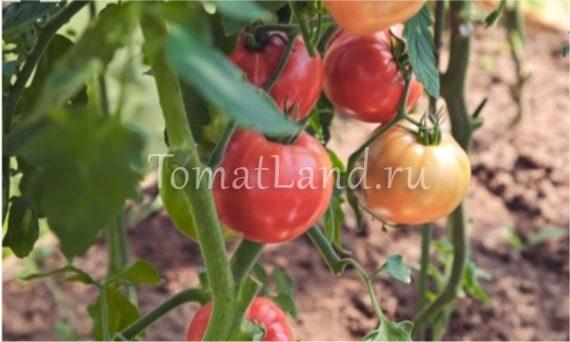розовый спам помидор фото на кусте