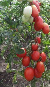 помидоры Столыпин фото