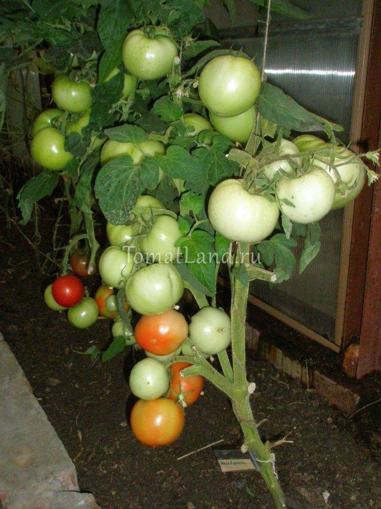 помидоры Вольверин фото