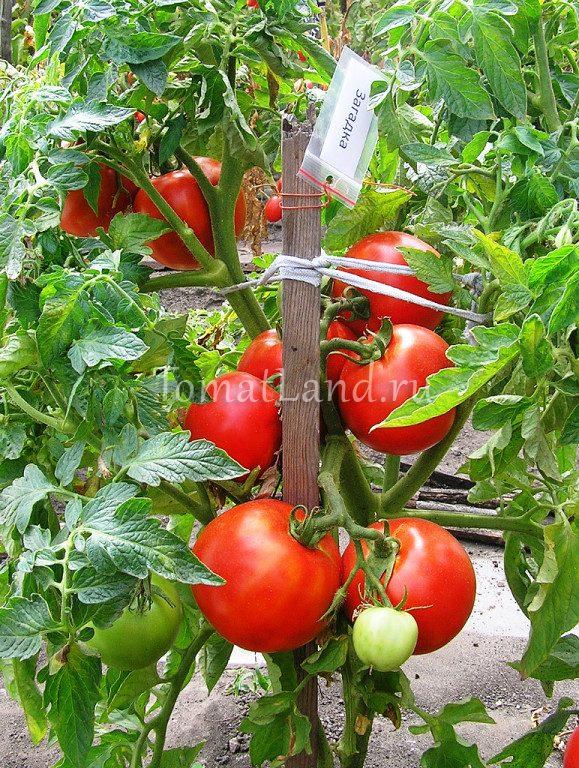 томат загадка фото на кусте отзывы