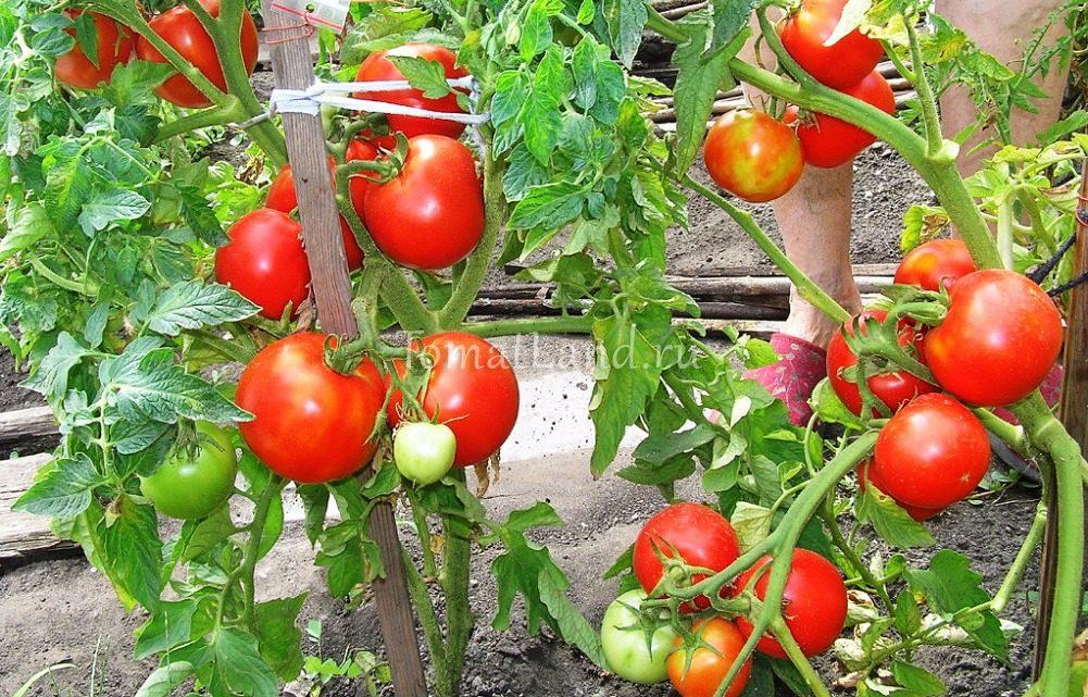 томаты загадка фото