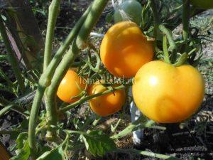 помидоры зеро фото