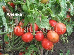 томат Аленка
