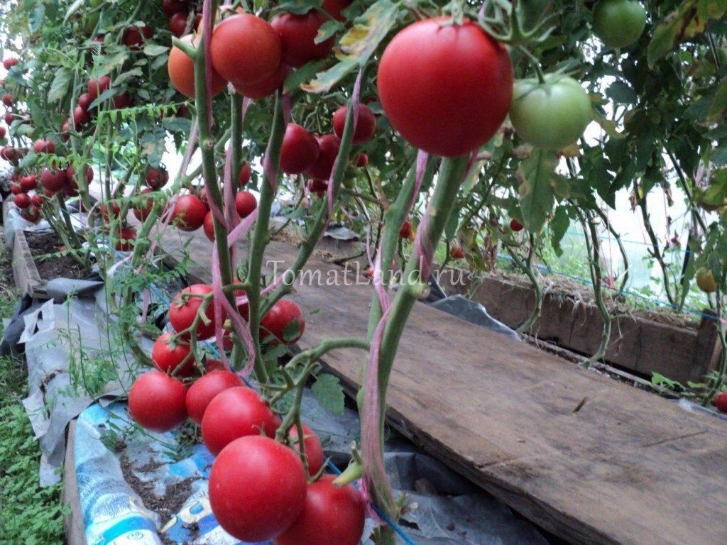 помидоры Алмейда f1 фото куста