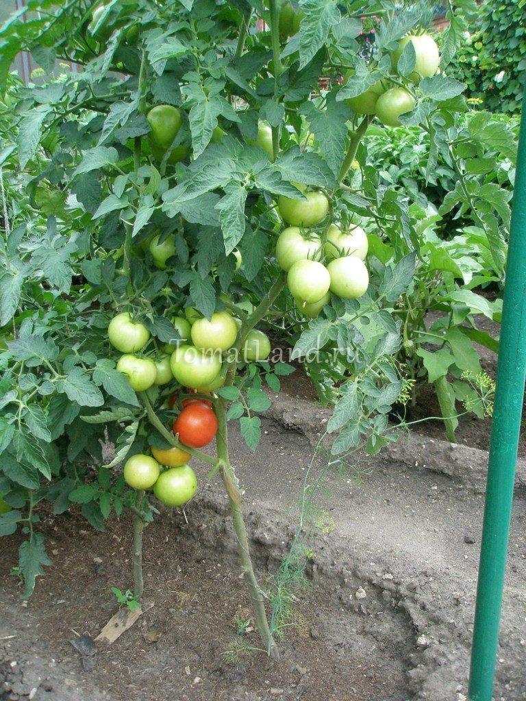 сорт Алмейда F1 помидоры