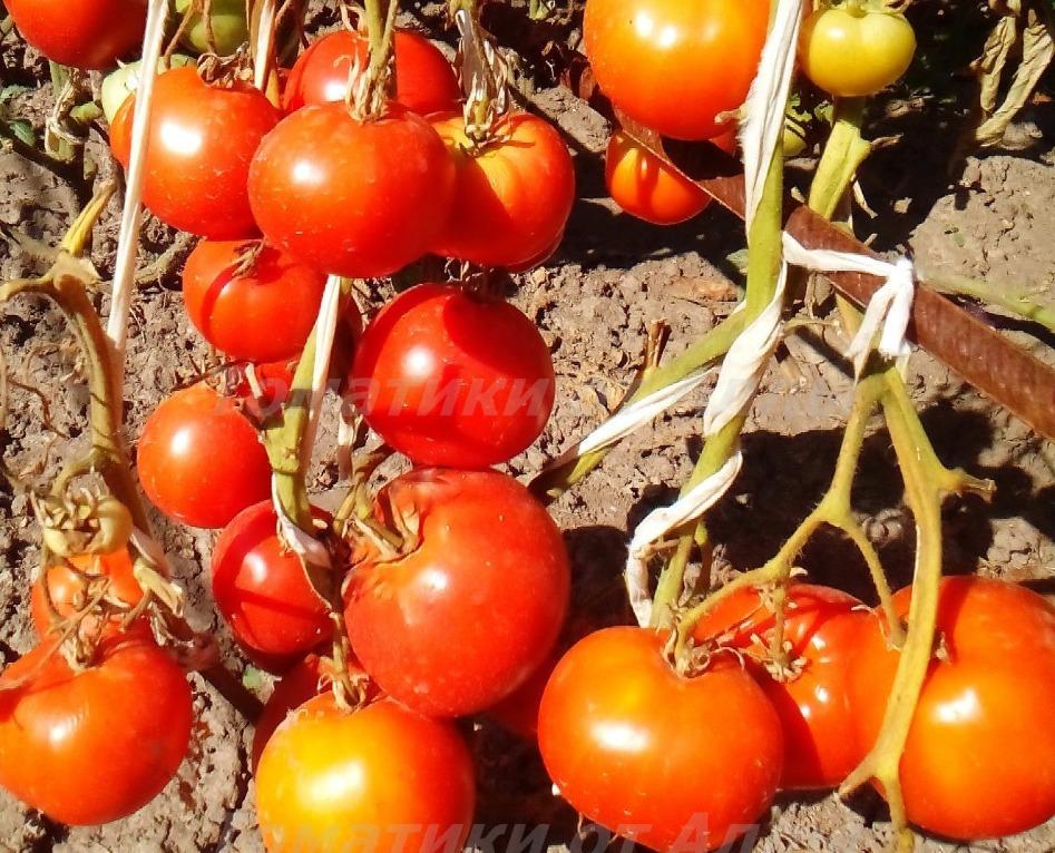 помидоры сорт барнаульский консервный отзывы