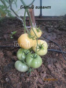 помидоры Белый гигант