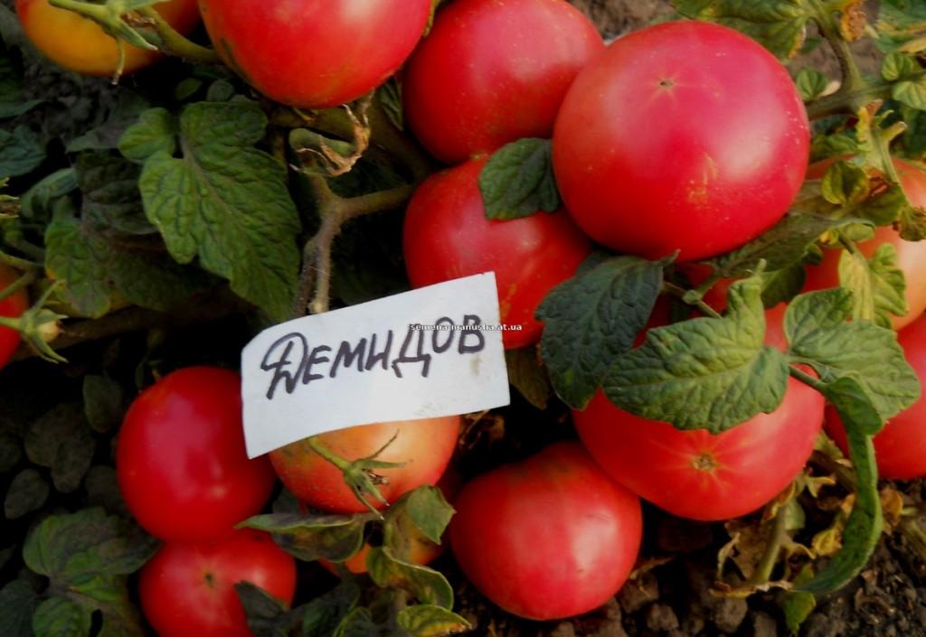 помидоры демидов отзывы фото урожайность