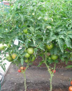помидоры Донателло фото
