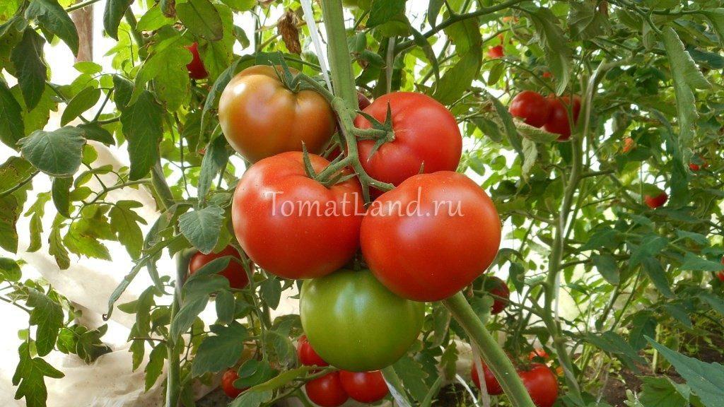 помидоры Дукати f1 фото