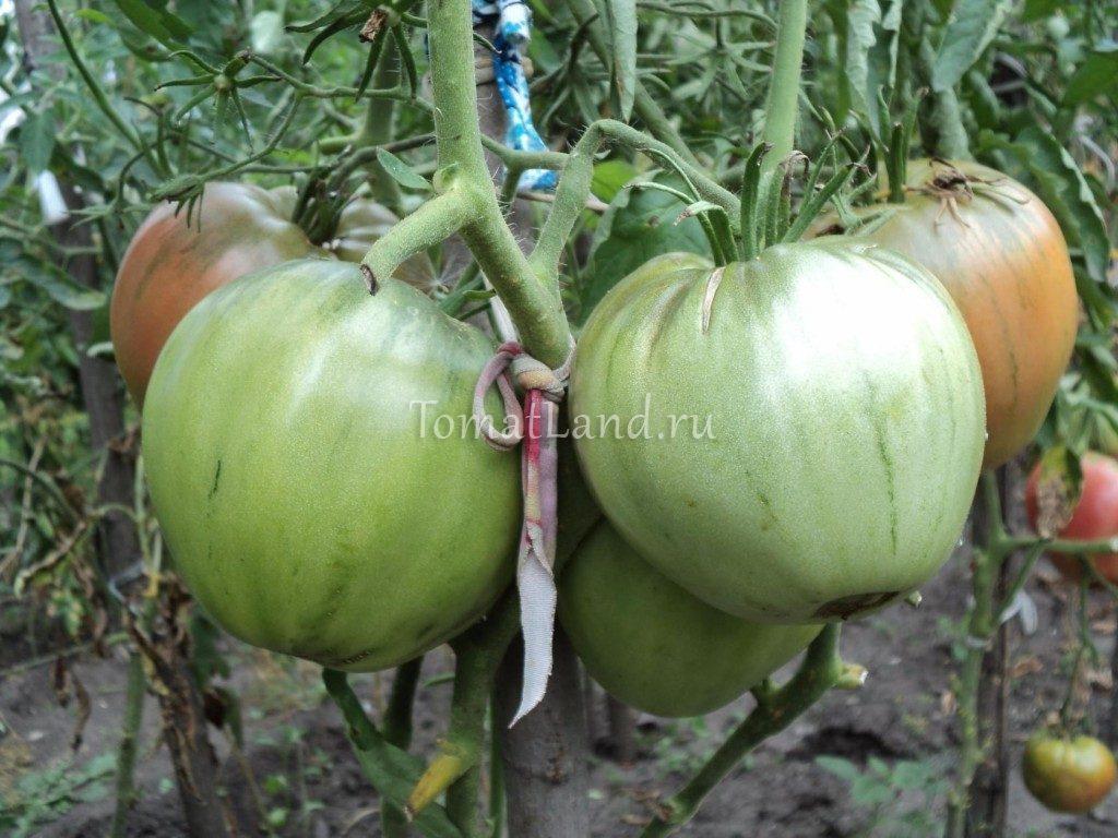 помидоры фиделио фото отзывы характеристика