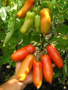 томат хохлома