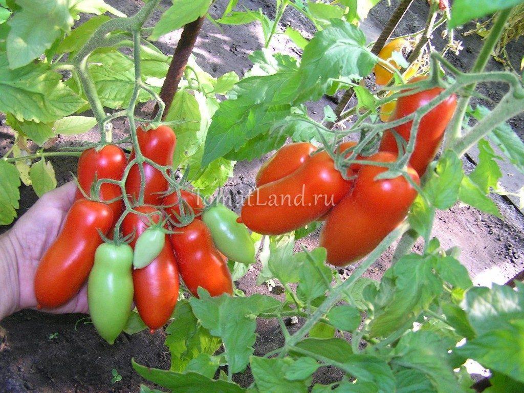 помидоры Хохлома фото на кусте