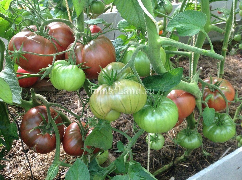 помидоры черный слон фото куста