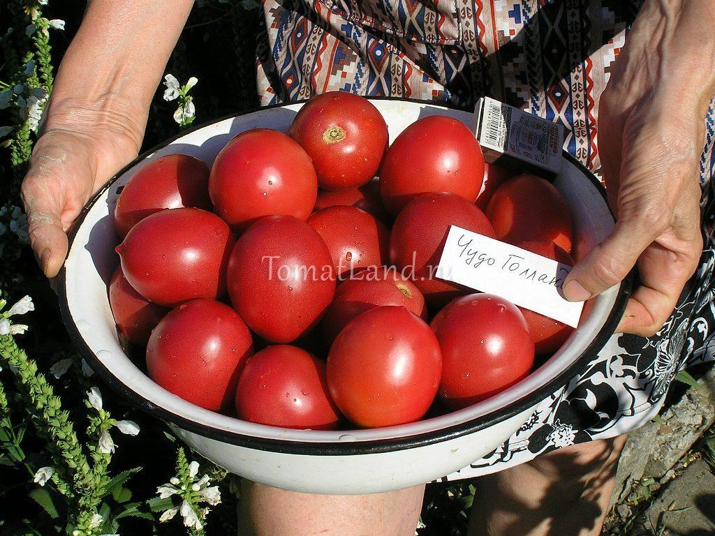 помидоры чудо голландии фото спелых плодов отзывы