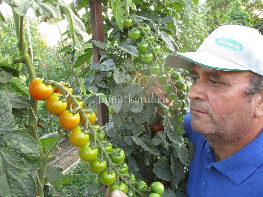 томаты от вилморин