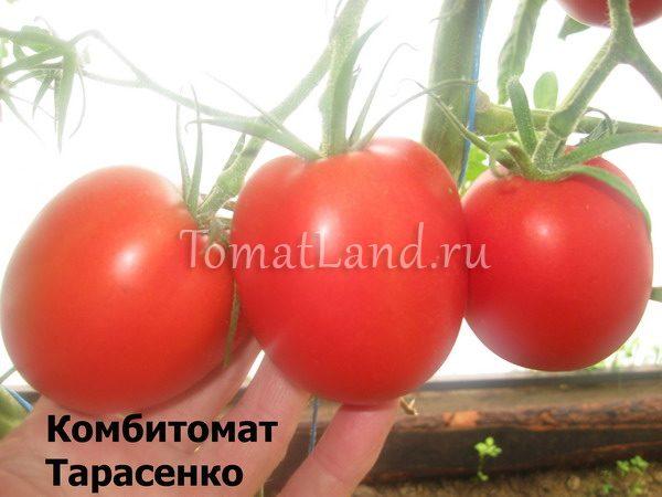 комбитомат тарасенко фото спелых плодов