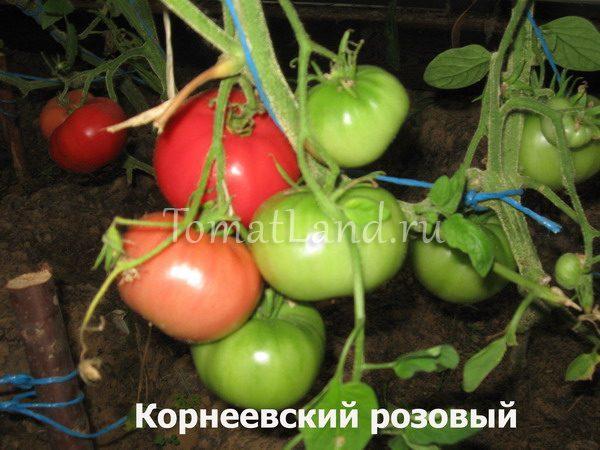 помидор корнеевский фото