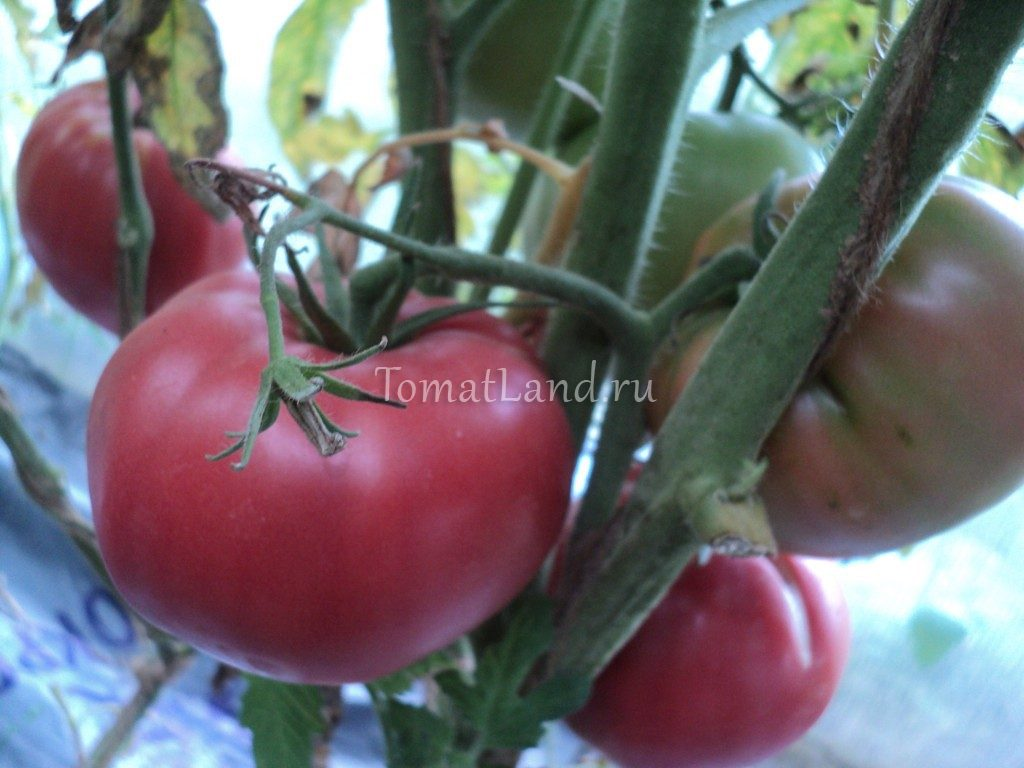 Ранние сибирские томаты