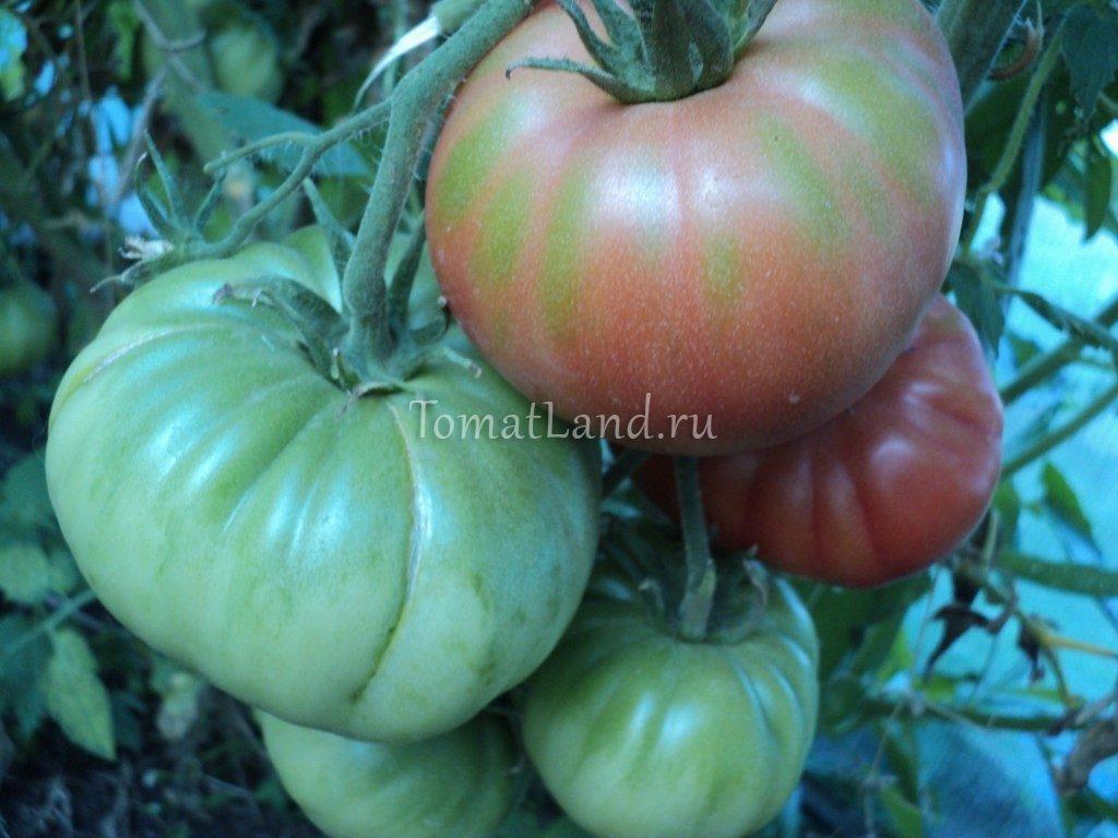 помидоры Король ранних фото спелых плодов