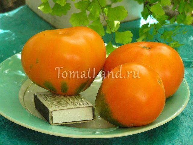сорт лампа аладдина фото спелых плодов