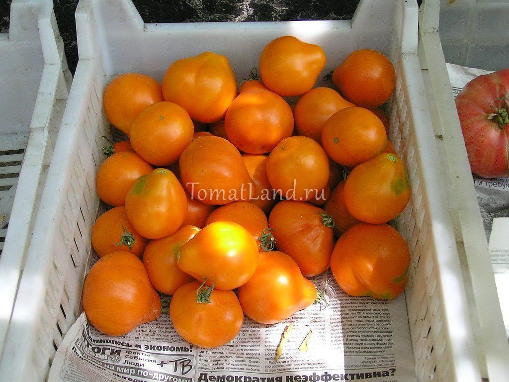 томат лампа алладина