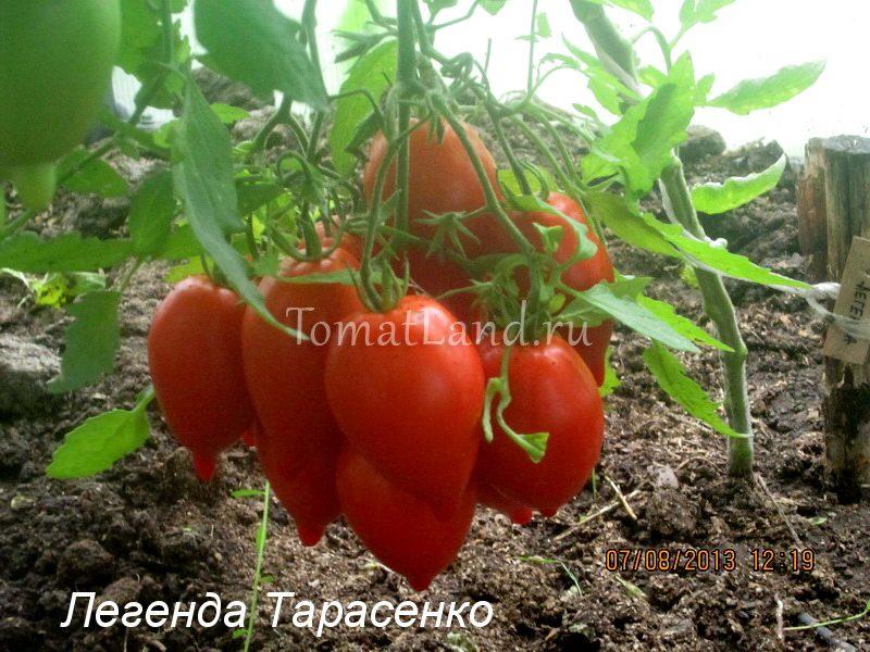 сорт легенда тарасенко фото спелых плодов