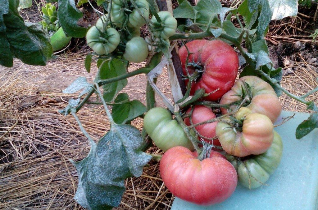 купить семена томата малиновый гигант